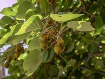 Kiwi Fruit, Actinidia-deliciosa royalty-vrije stock afbeeldingen