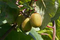 Kiwi Fruit Actinidia-deliciosa royalty-vrije stock foto's
