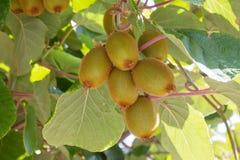 Kiwi fruit. On the branch Royalty Free Stock Photo