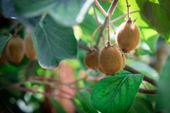 Kiwi fruit on the branch. Some Kiwi on a tree. Closeup shot stock images