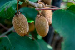 Kiwi fruit on the branch. Some Kiwi on a tree. Closeup shot royalty free stock photography