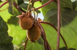 Kiwi fruit on the branch. Some Kiwi on a tree stock photography