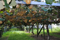 Kiwi Fruit chinese gooseberry growing on the vine. New Zealand kiwi fruit growing on the vine in an orchard chinese gooseberry royalty free stock images