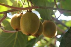 Free Kiwi Fruit Growing On Vine Royalty Free Stock Photography - 147337947