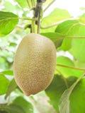 Kiwi fruit Royalty Free Stock Photos