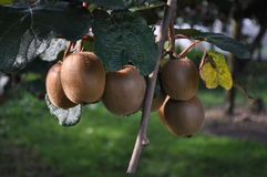 Kiwi Fruit-Kiwi, die auf der Rebe wächst Lizenzfreie Stockbilder