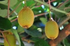Kiwi fruit on a plant, hanging from a branch Royalty Free Stock Photography