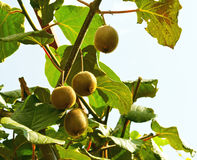 Kiwi fruit on the tree royalty free stock photography