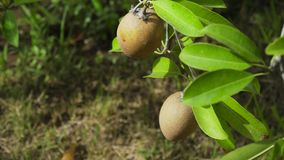 Kiwi fruit on the tree. Kiwi fruit on a tree branch in tropical garden. Ripe fruits of kiwi plant organic cultivation stock video footage