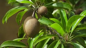 Kiwi fruit on the tree. Kiwi fruit on a tree branch in tropical garden. Ripe fruits of kiwi plant organic cultivation stock video