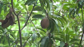 Kiwi fruit on the tree. Kiwi fruit on a tree branch in tropical garden. Ripe fruits of kiwi plant organic cultivation stock footage