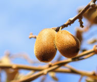 Kiwi fruit on tree Stock Photos
