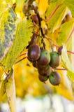 Kiwi fruit on the vine Royalty Free Stock Image