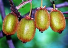 Kiwi fruits. On the tree stock image