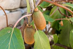 Ripe kiwi fruits growing on a tree, Serbia stock images