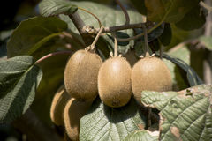 Kiwi fruits on the branch. Cluster of ripe kiwi fruit on the branch Royalty Free Stock Photography