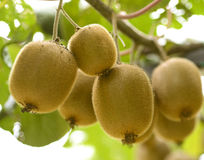 Kiwi fruits on a branch in focus Stock Images