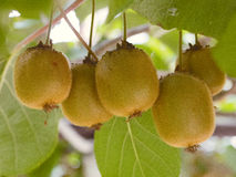 Kiwi fruits on a branch in focus Royalty Free Stock Photo