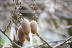 Kiwi fruits on a branch in garden Stock Photography