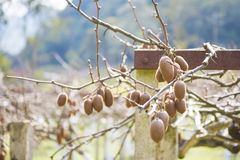 Kiwi fruits on a branch in garden Stock Image