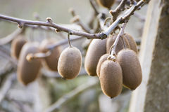 Kiwi fruits on a branch in garden Royalty Free Stock Images