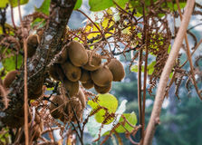 Kiwi fruits growing in a tree royalty free stock photo
