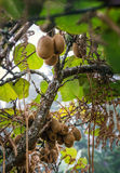 Kiwi fruits growing tree stock photo