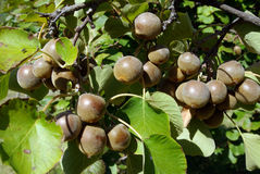 Kiwi fruits on plantation Stock Photo