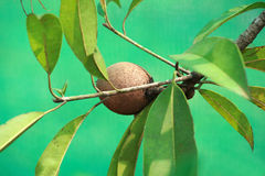 Kiwi fruits and plants. Kiwi fruits on plants on green backgrounds Royalty Free Stock Images