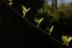 Kiwi gałąź z pierwszy wiosna liśćmi Fotografia Stock