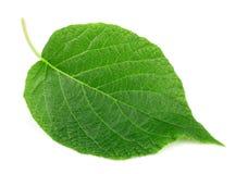 Kiwi leaf on a white background Royalty Free Stock Photos