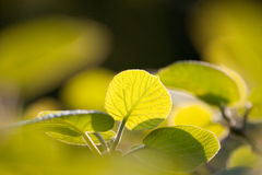 Kiwi leafs. Shot of kiwi leafs plant on the sunset royalty free stock photography