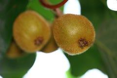 Kiwi met groene bladeren Stock Afbeeldingen