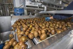 Free Kiwi On Conveyor Belt Royalty Free Stock Images - 54665649
