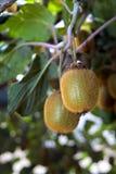 Kiwi On Plant Stock Images
