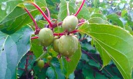 Kiwi owoc - actinidia Actinidia wyśmienicie deliciosa Obraz Stock