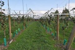 Kiwi owoc chińskiego agresta dorośnięcie na winogradzie Obrazy Stock