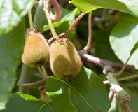 kiwi owocowi potomstwa zdjęcia stock