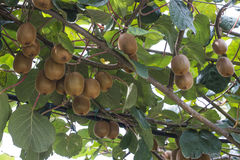 Kiwi plant Royalty Free Stock Photo