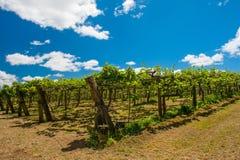 Kiwi plantacja Zdjęcia Royalty Free