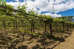 Kiwi plantation. Kiwi fruit (Actinidia deliciosa) plantation seen on Coromandel peninsula, New Zealand Stock Photos