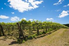 Kiwi plantation Royalty Free Stock Photography
