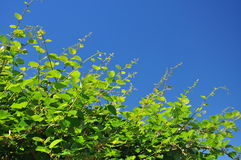 Kiwi plant vines against a blue sky Stock Images