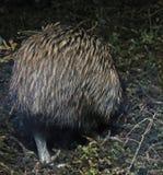 Kiwi retreats. There's no tail on a North Island brown kiwi, Apteryx australis, New Zealand stock image