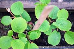 Kiwi roślina Fotografia Stock