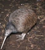 Kiwi searching. North Island brown kiwi, Apteryx australis, searching for food in New Zealand bush setting stock photos