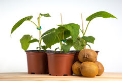 Kiwi seedling with kiwi fruits Stock Image