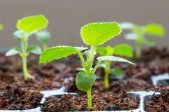 Kiwi seedlings Stock Photo