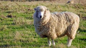 Kiwi Sheep Fotografering för Bildbyråer