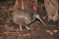 Kiwi in struik Royalty-vrije Stock Afbeeldingen